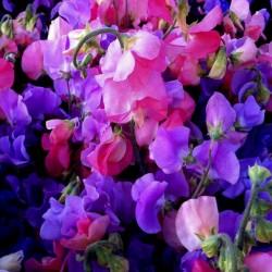 SWEET PEA Seeds (Lathyrus odoratus) 1.55 - 4