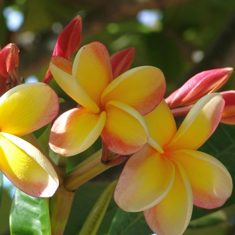 "Plumeria Frangipani Seeds ""Orangelight"" 2.5 - 1"
