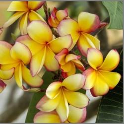 """Sementes de Plumeria """"Orangelight"""" 2.5 - 2"""