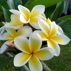 "Plumeria Seeds ""Yellow gold"" Flowers 2.5 - 1"
