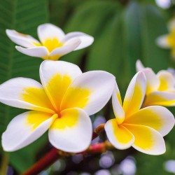 "Sementes de Plumeria ""Yellow gold"" 2.5 - 2"