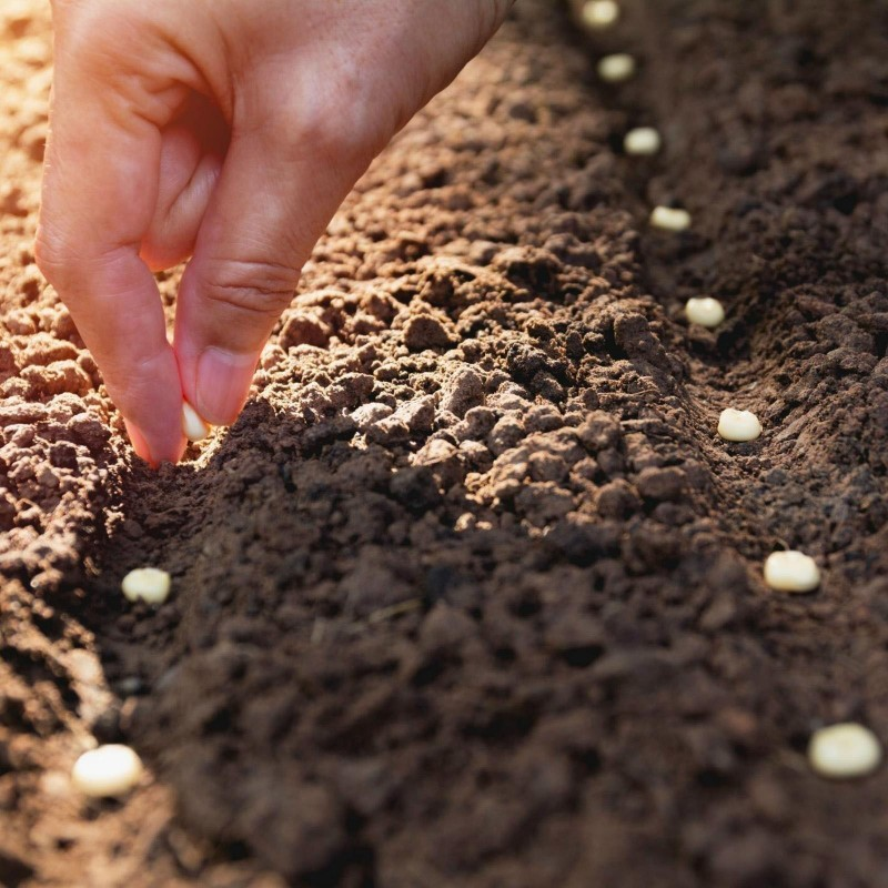 Cómo cultivar maíz desde la semilla 0 - 1