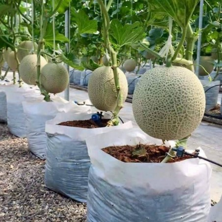 How to grow melons 0 - 1