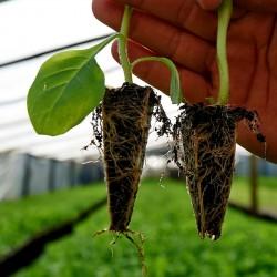 Como Plantar Tabaco