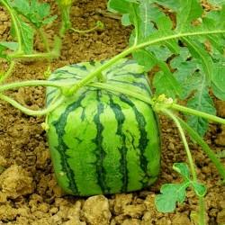 Kako uzgojiti kockastu lubenicu 1.75 - 1