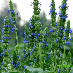 BLACK CHIA Seeds (Salvia hispanica) 1.95 - 2