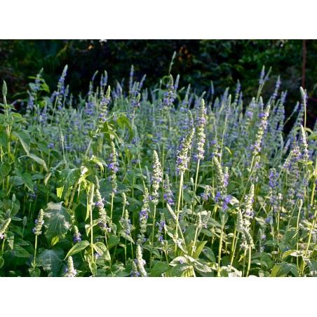SCHWARZES CHIA Samen (Salvia hispanica) 1.95 - 3