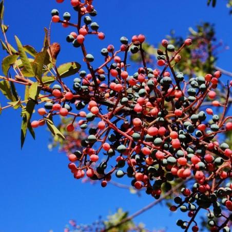 Terpentin-Pistazie Samen (Pistacia terebinthus) 2.049999 - 2