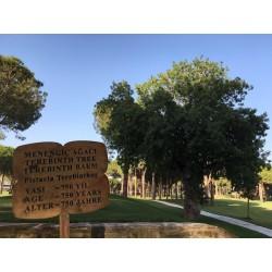 Terpentin-Pistazie Samen (Pistacia terebinthus) 2.049999 - 3