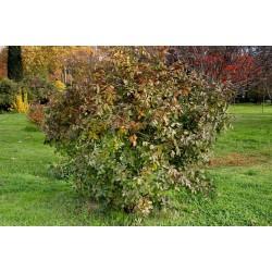 Terpentin-Pistazie Samen (Pistacia terebinthus) 2.049999 - 4