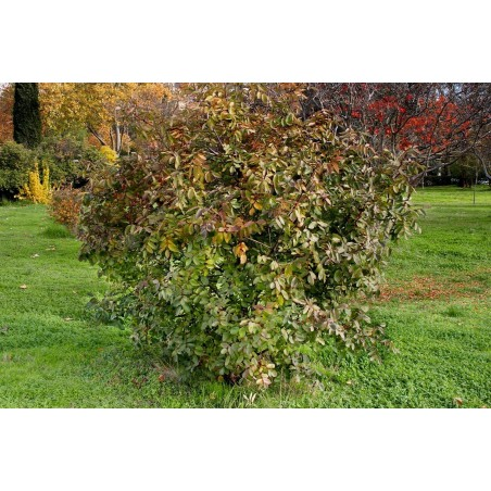 Σπόροι Τερέβινθος (φυτό) (Pistacia terebinthus) 2.049999 - 4