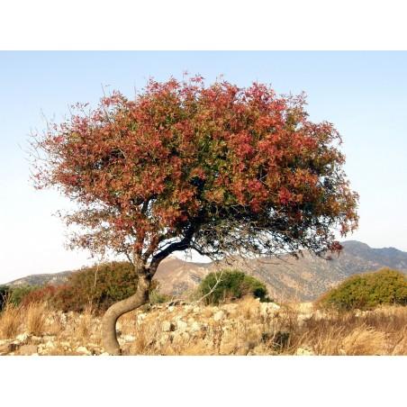 Terpentin-Pistazie Samen (Pistacia terebinthus) 2.049999 - 5