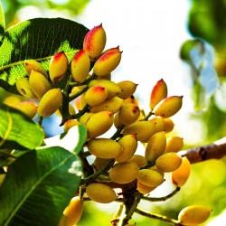 Pistachio Seeds (Pistacia vera) (Antep Pistachio) 3.7 - 5