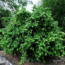Hazelnut Seeds 1.8 - 2
