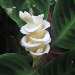 Eis Blume - Korbmarante Samen (Calathea warscewiczii) 2.85 - 6