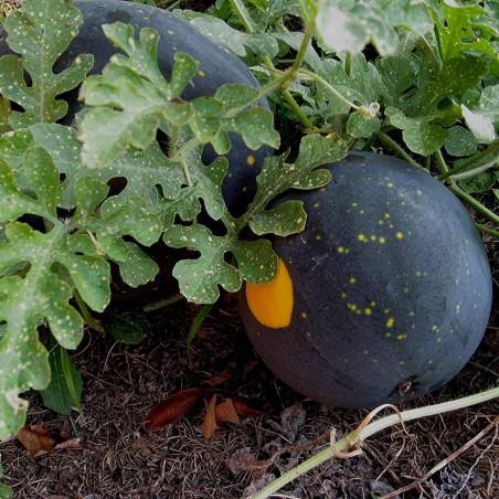 100 Samen Gelbe Wassermelone Mond und Sterne 10 - 1