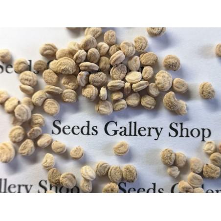 Ginseng Samen Heilpflanze, Kraftwurzl plant 2.5 - 6