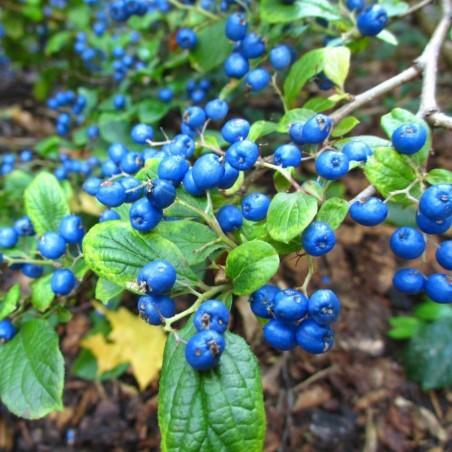 Sapphire-Berry Seeds (Symplocos paniculata) 1.95 - 5