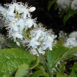 Seme Safirna Bobica (Simplocos paniculata) 1.95 - 1