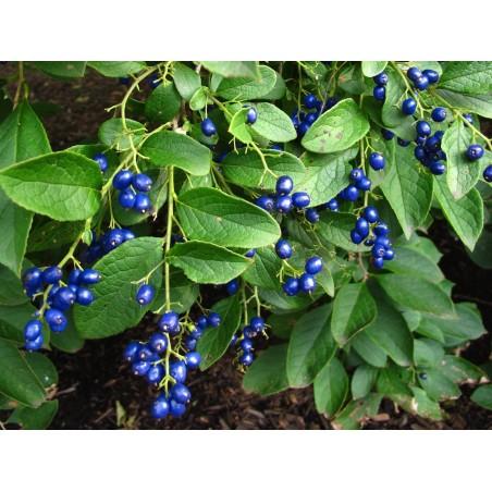 Safir-Berry Fröer (Symplocos Paniculata) 1.95 - 2
