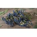 Echter Thymian Samen (Thymus vulgaris)