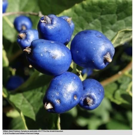 Sapphire-Berry Seeds (Symplocos paniculata) 1.95 - 4