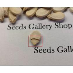 100 Samen Gelbe Wassermelone Mond und Sterne 10 - 3