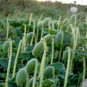 Horseradish Seeds (Armoracia rusticana)