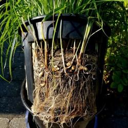 EARTH ALMOND Seeds nut grass (Cyperus esculentus) 2.5 - 1