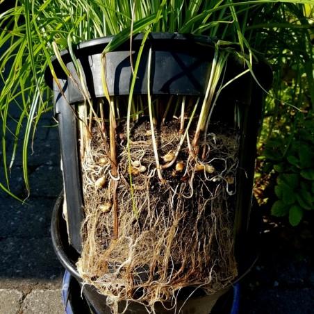 Semi di Barbaforte, Rafano Tedesco (Armoracia rusticana)