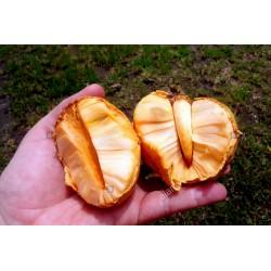 Semillas de Annona glabra 1.85 - 3