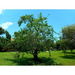 Sementes De Araticum Do Brejo fruta tropical (Annona glabra) 1.85 - 4