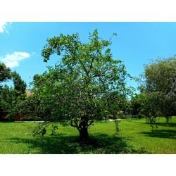Graines de Cachiman-cochon (Annona glabra) 1.85 - 4