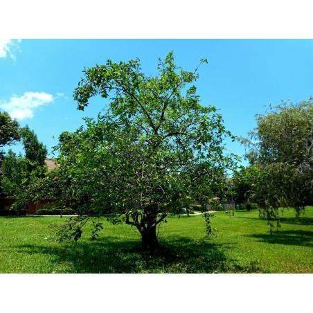 Semillas de Annona glabra 1.85 - 4