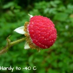 Semillas de zarza de olor, zarza purpúrea, (Rubus odoratus) 2.25 - 1