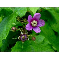 Purple Flowered Raspberry Seeds (Rubus Odoratus) 2.25 - 5