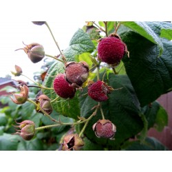 Σπόροι μοβ Ανθισμένα Βατόμουρο (Rubus odoratus) 2.25 - 6