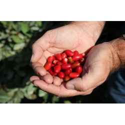Miracle Fruit, Miracle Berry Seeds (Synsepalum dulcificum) 4.95 - 6