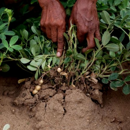 Jordnöt frön (Arachis hypogaea) 1.95 - 2