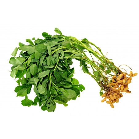 Σπόροι Φυστίκι Ή Αραχίδα (Arachis hypogaea) 1.95 - 3