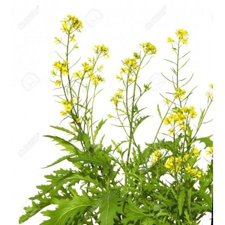 Σπόροι Καφέ μουστάρδα (Brassica juncea) 1.95 - 3