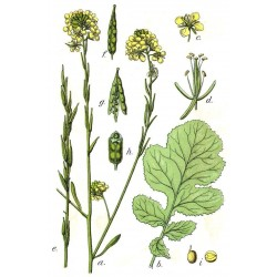 Semi di Senape Indiana (Brassica juncea) 1.95 - 5