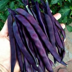 Graines de Haricots Blauhilde 1.95 - 1