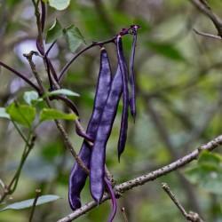 Blauhilde Bean Seeds 1.95 - 2