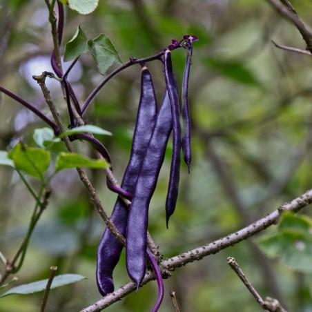 Semillas de Frijol Blauhilde 1.95 - 2