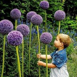 Giant leek Allium Sensation Mix - bulbs 4.5 - 5