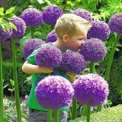 Riesiger Lauch Allium Sensation Mix - Zwiebeln 4.5 - 6