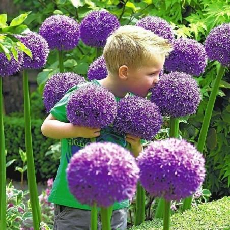 Poireau géant Allium Sensation Mix - bulbeuses 4.5 - 6