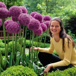 Giant πράσο Allium...