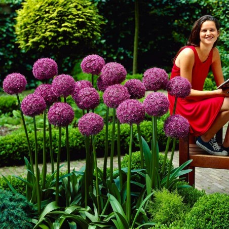 Gigantski praziluk Allium sensation mix - lukovice 4.5 - 7